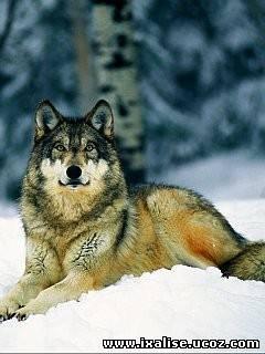 Wolf Screensavers